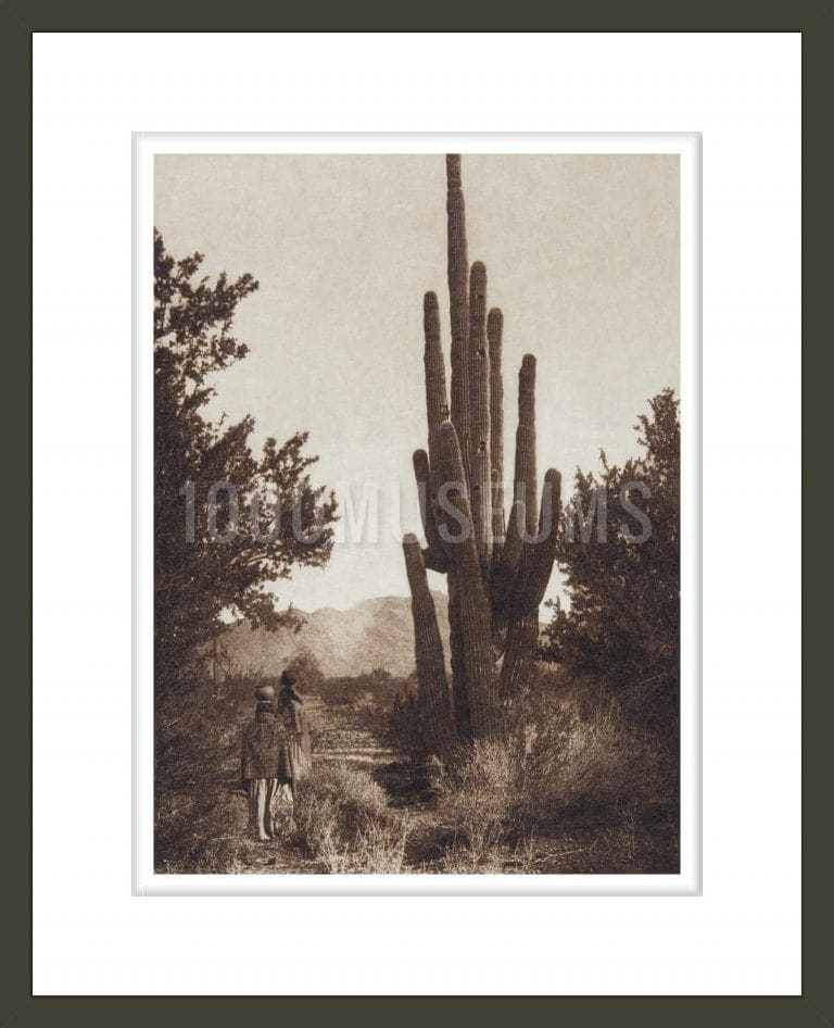 Gathering Cactus Fruit - Pima (The North American Indian, v. II. Cambridge, MA: The University Press, 1908)