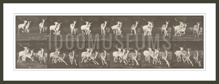 Fallow deer, buck and group of does, galloping (Animal Locomotion, 1887, plate 688)