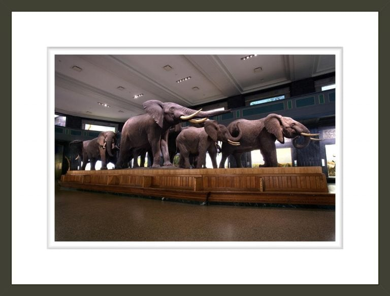 African elephant (Loxodonta africana) group in the Akeley Hall of African Mammals (Diorama)