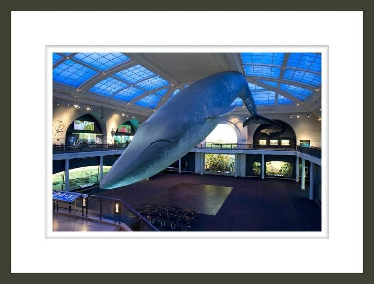 Blue whale in the Milstein Hall of Ocean Life