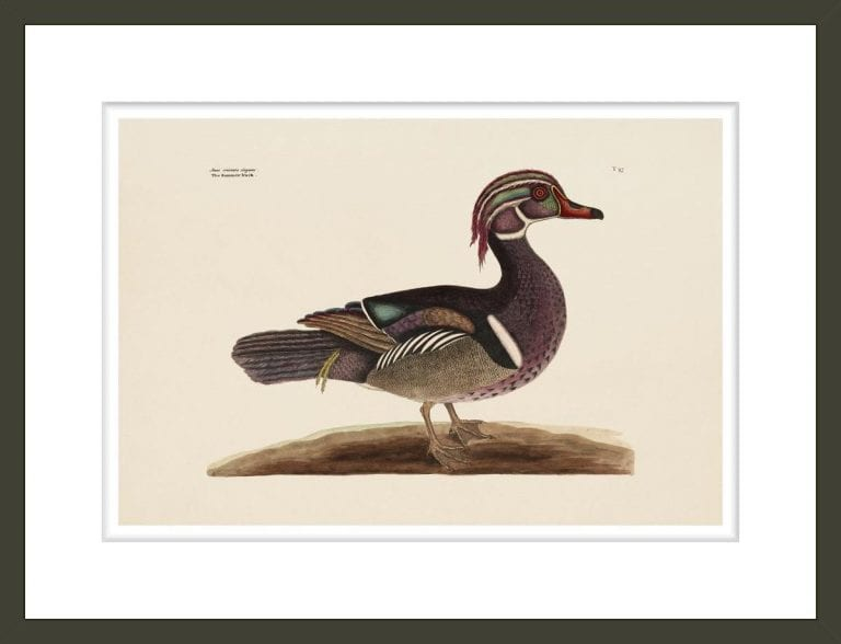 The Summer Duck, The Natural History of Carolina, Florida, and the Bahama Islands