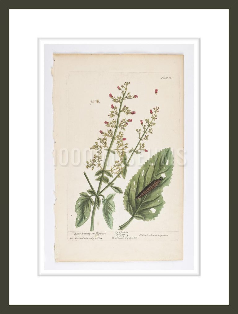 Water Betony or Figwort from A Curious Herbal