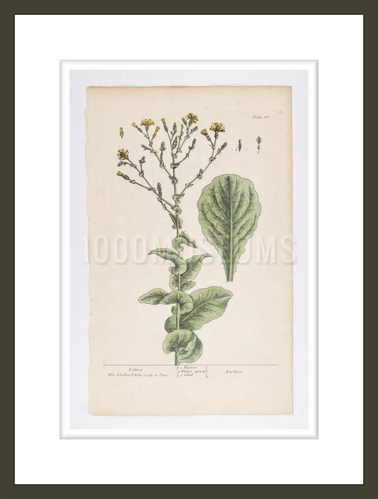 Lettice from A Curious Herbal