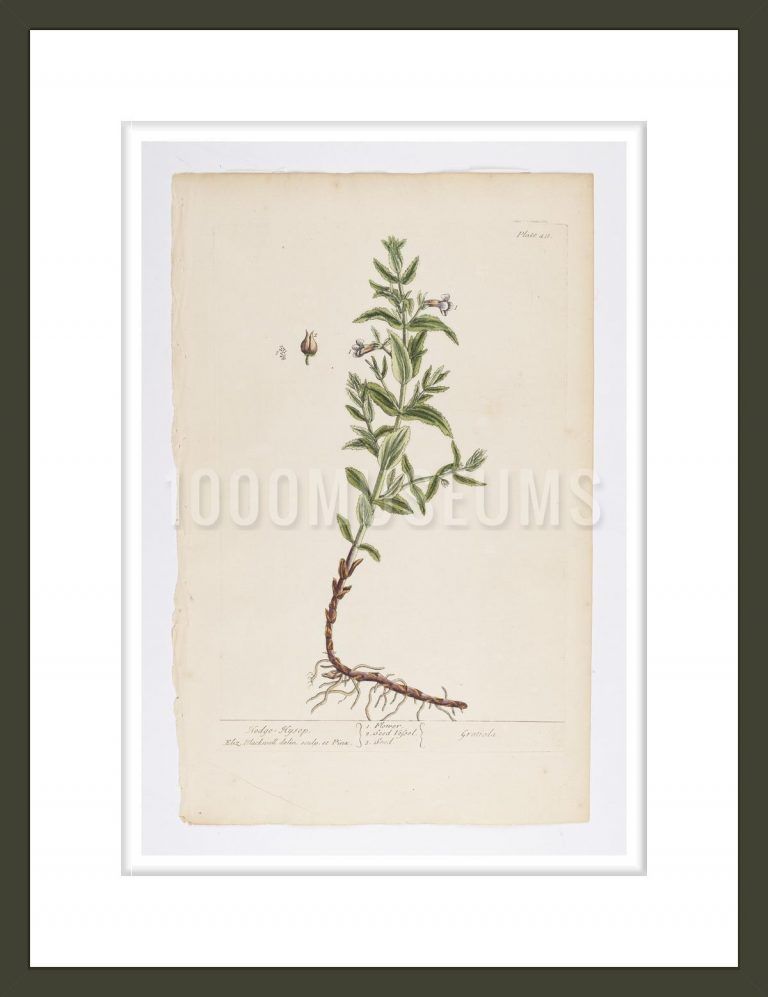 Hedge - Hysop from A Curious Herbal