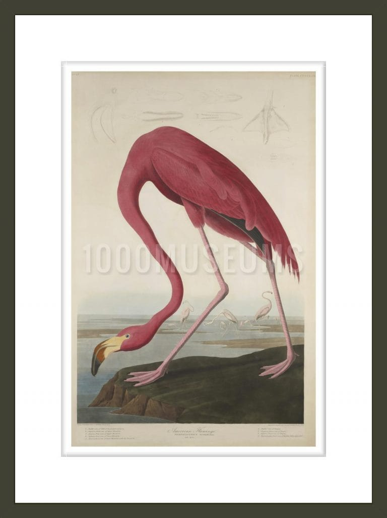 American Flamingo, from The Birds of America, 1827–-38