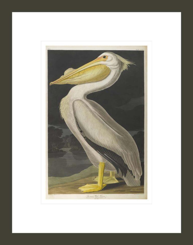 American White Pelican, from The Birds of America, 1827-–38