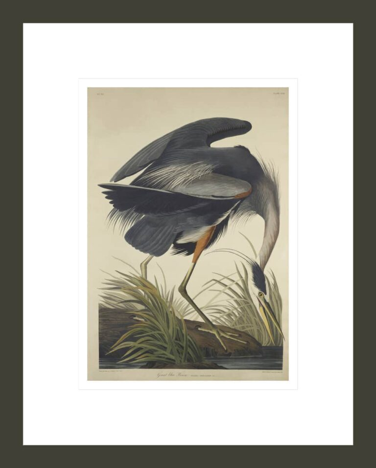 Great Blue Heron, from The Birds of America