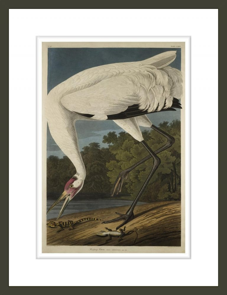 Whooping Crane, from The Birds of America