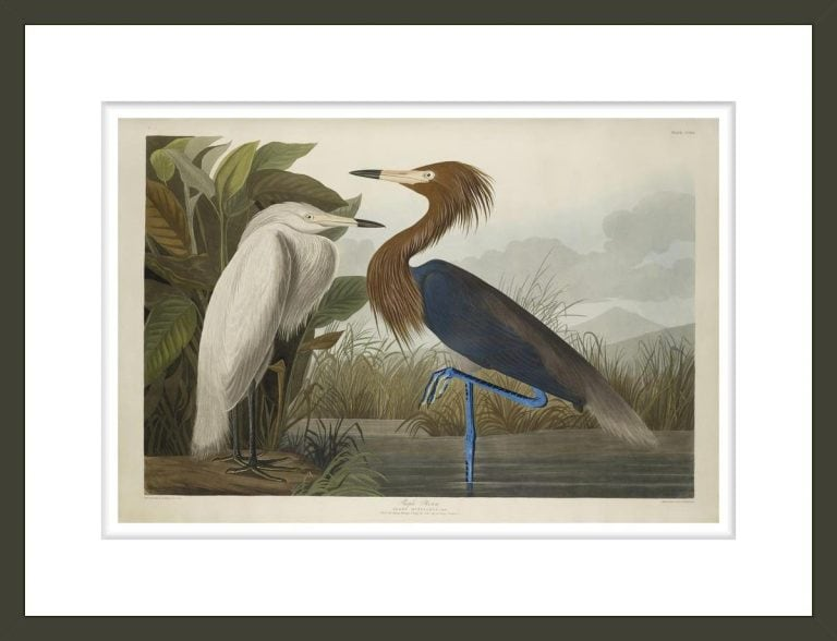Purple Heron, from The Birds of America, 1827–-38