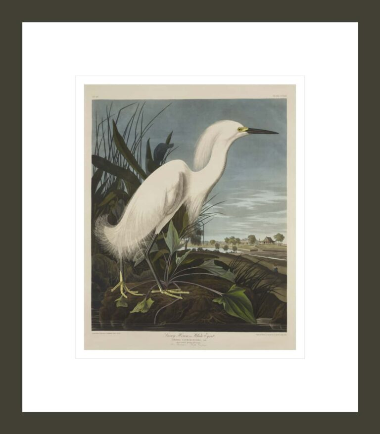 Snowy Heron or White Egret, from The Birds of America