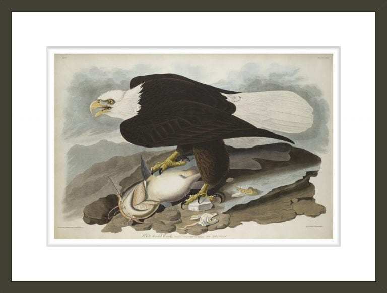 White-headed Eagle, from The Birds of America, 1827–-38